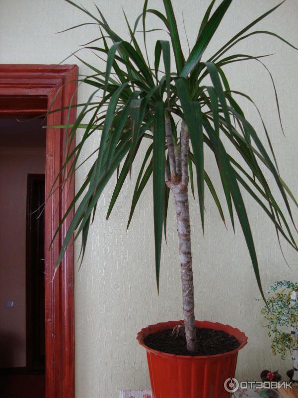 Домашние цветы драцена как ухаживать в домашних условиях 993