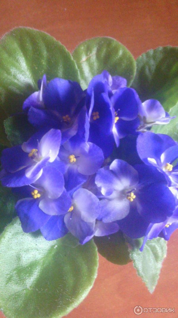 Секреты выращивания фиалок узамбарских 31