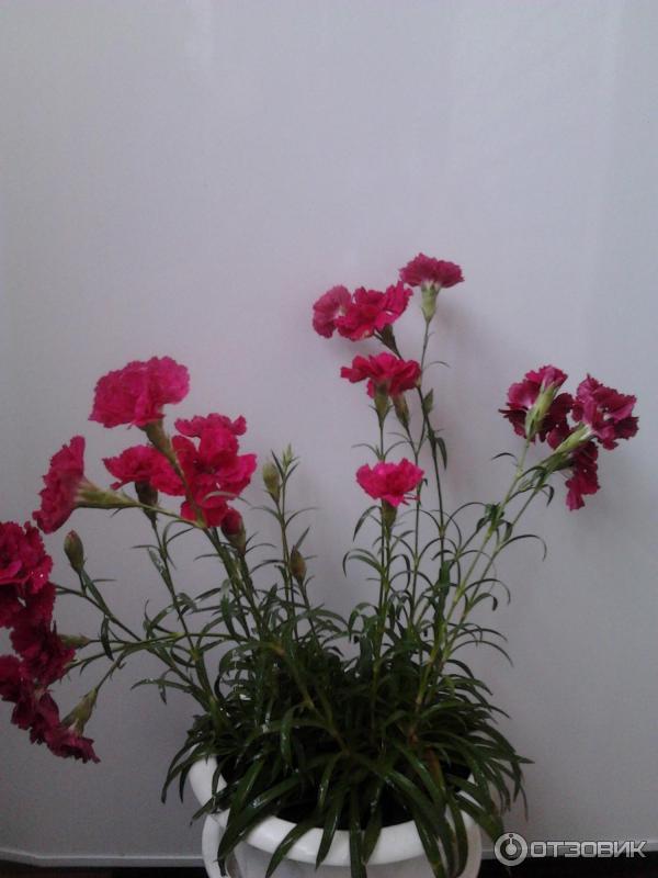 Гвоздика комнатная выращивание 51