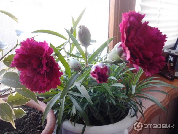 Гвоздика комнатная выращивание 33