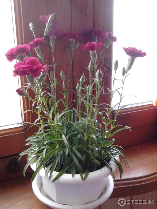 Гвоздика комнатная выращивание 97