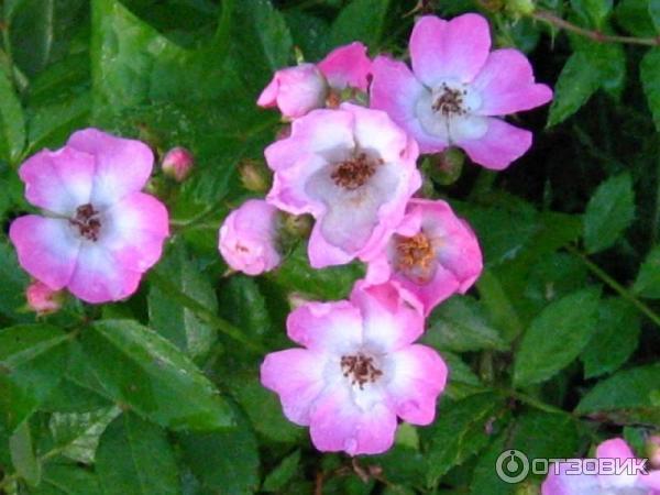 Роза крылья ангелов выращивание из семян фото отзывы 49