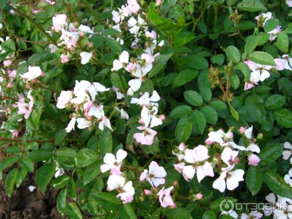 Роза крылья ангелов выращивание из семян фото отзывы 83