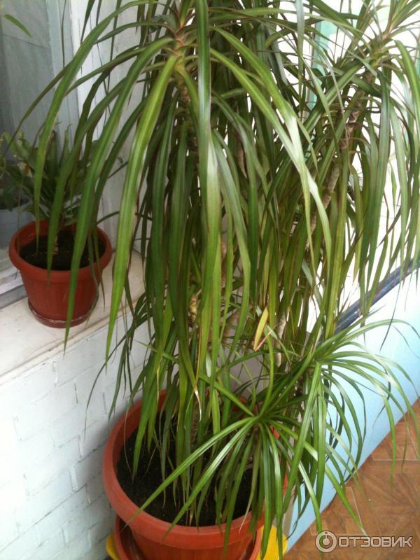 Комнатные растения пальмы фото