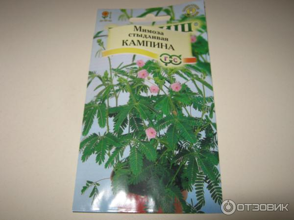 Мимоза стыдливая выращивание из семян в домашних  833