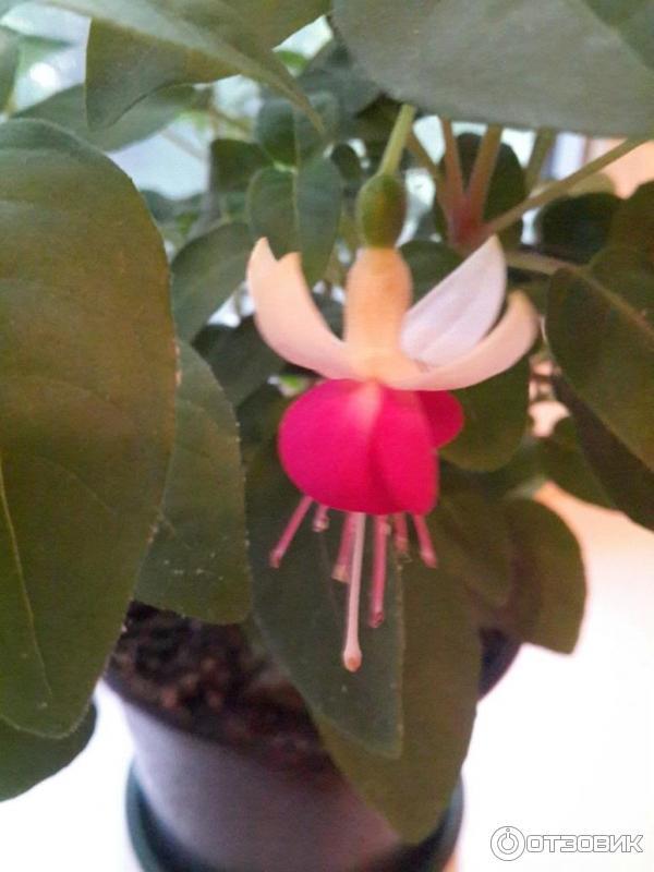 комнатный цветок фуксия