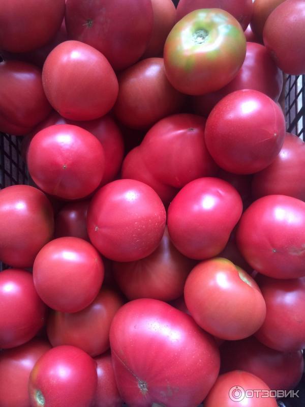 Выращивание томатов пинк парадайз 50
