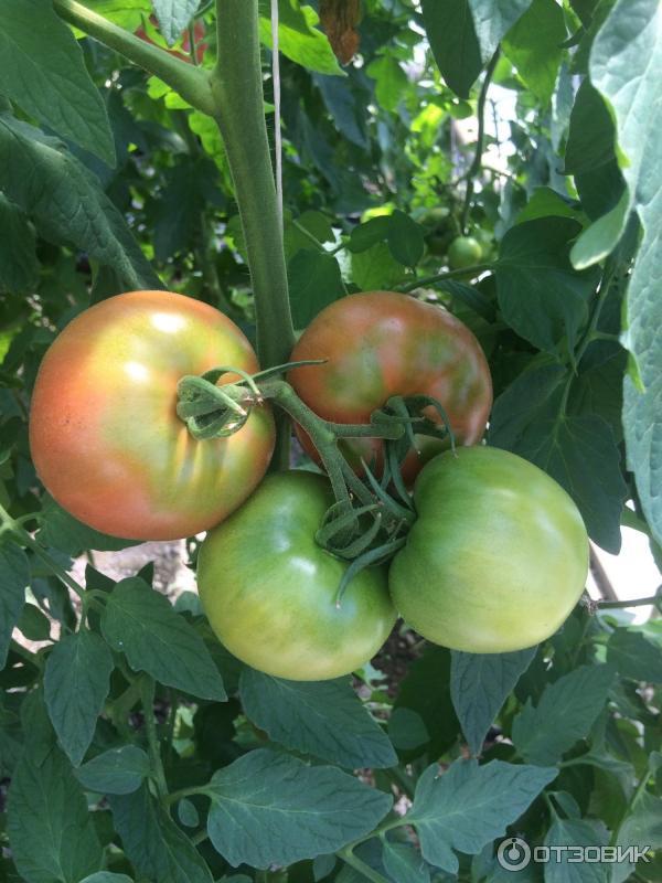 Выращивание томатов пинк парадайз 33