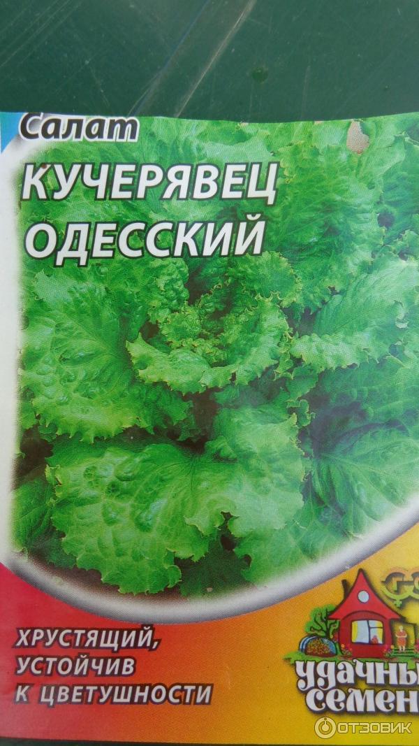 Салат кучерявец одесский выращивание из семян 52
