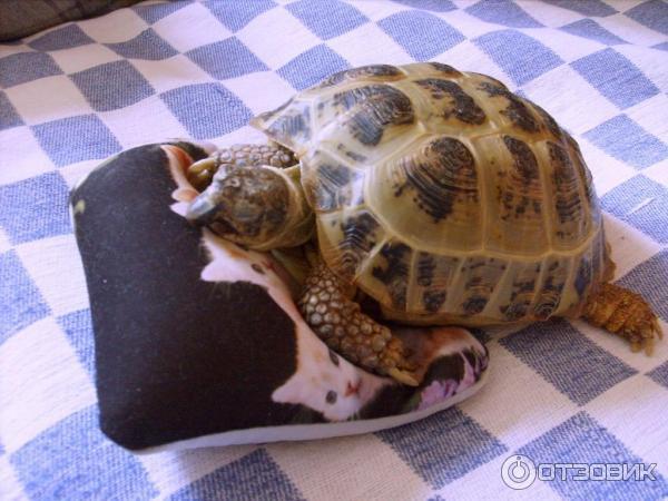 Спячка в домашних условиях у сухопутных черепах  35