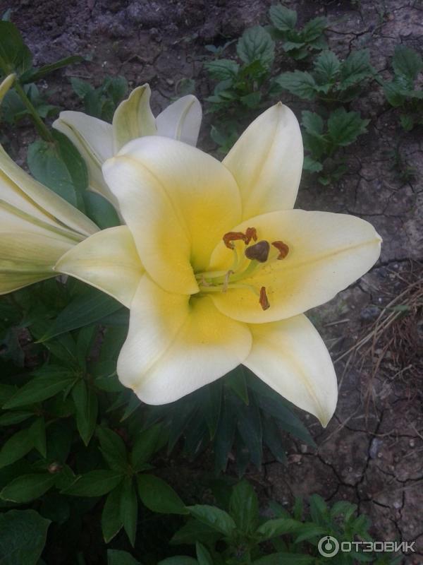 Цветы лилии азиатские