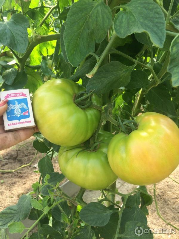 Пинк уникум томат выращивание 29