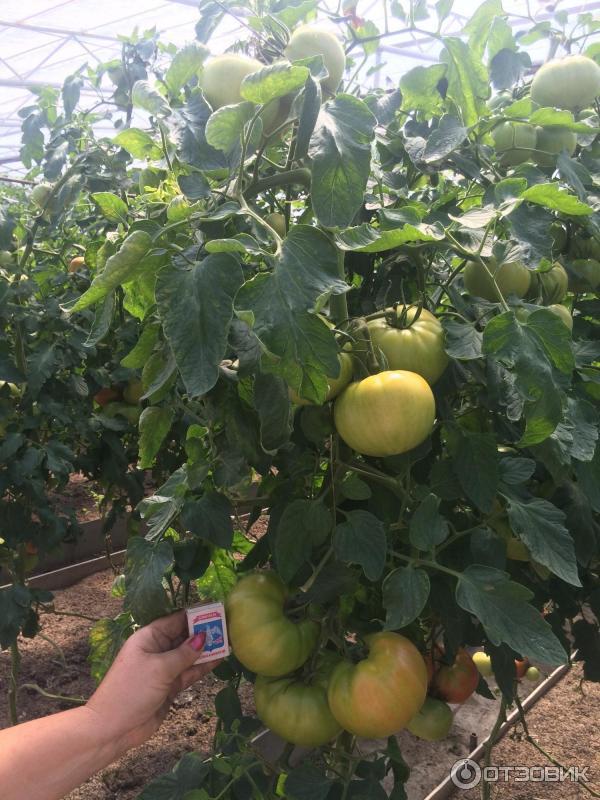 Пинк уникум томат выращивание 76