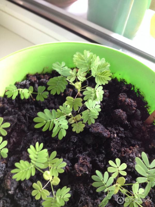 Комнатное растение мимоза стыдливая