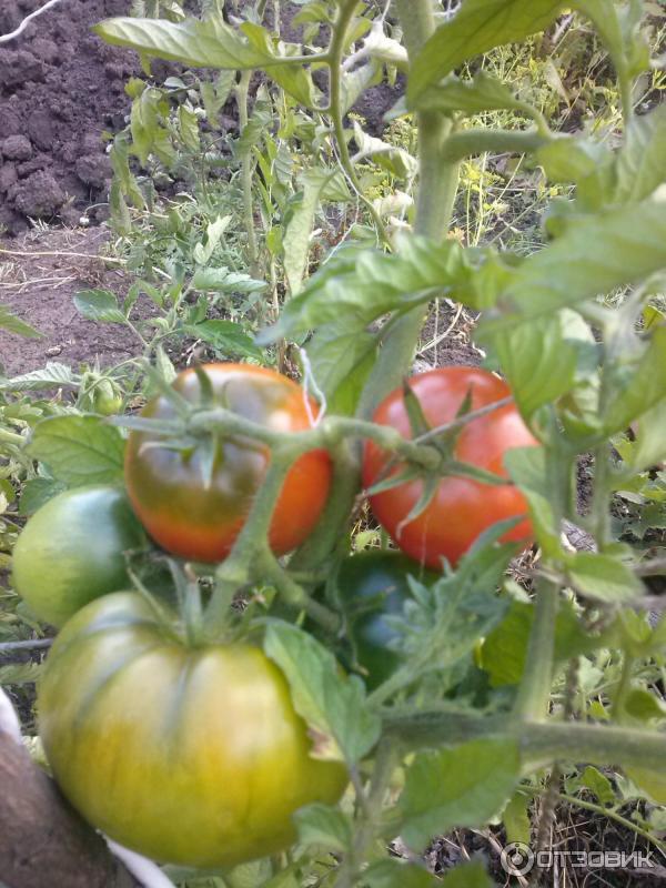 Подарок сибири помидоры 83