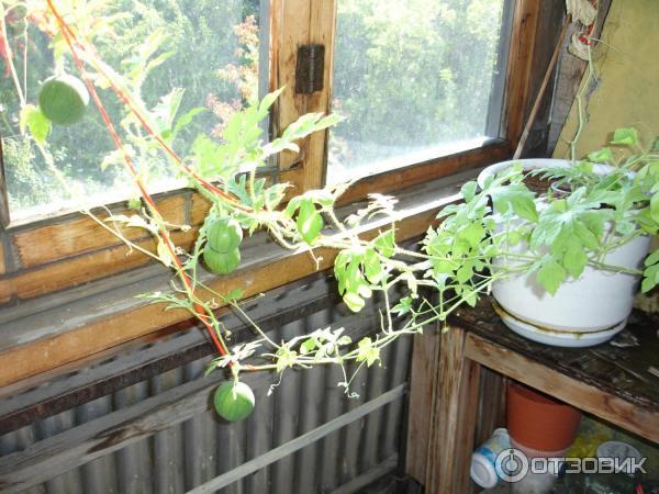 Выращивание арбузов на балконе 94