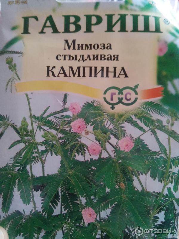 Мимоза стыдливая выращивание из семян в домашних  370