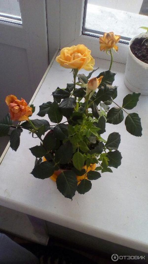 Розы миниатюрные посадка и выращивание в комнатных условиях 71
