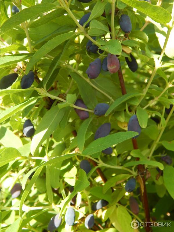 Отзыв о Жимолость садовая Кладезь витаминов, имеющая родство с волчьей ягодой.