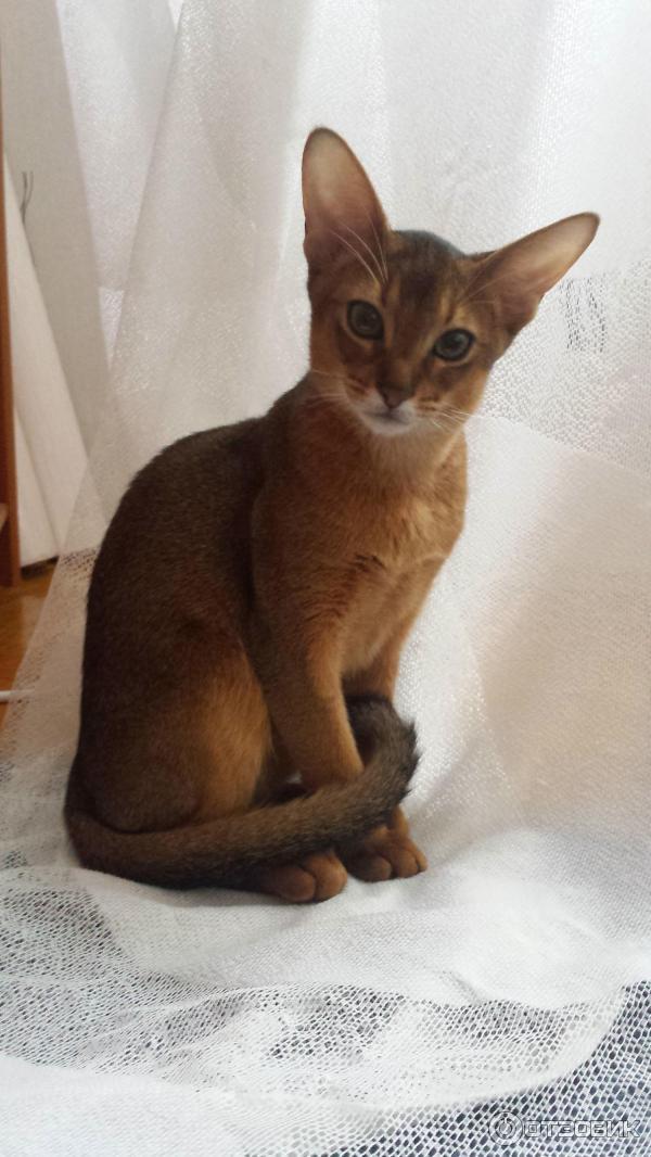 отзыв о питомник кошек Nefertee россия москва питомник