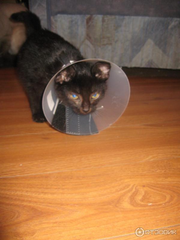 Делаем защитный елизаветинский воротник для кошки